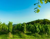 View of a cultivated vineyard in a hilly Zagorje region in Croatia, Europe, during a summer or autumn day. View of a cultivated green vineyard in a hilly Zagorje royalty free stock image