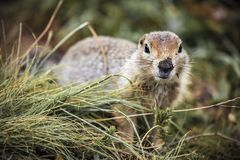 Cute funny gophers are eating,kamchatka peninsula,,Russia. royalty free stock photo