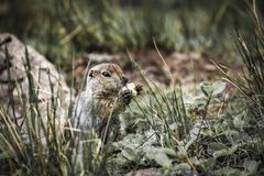 Cute funny gophers are eating,kamchatka peninsula,,Russia. stock image