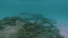 View of cute little fish hiding under coral. Snorkeling. Underwater world of Indian Ocean. stock video footage