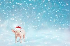 View of cute little pink piggy on winter snow background and looking at camera. Pig as symbol of luck and Chinese 2019 new year royalty free stock image