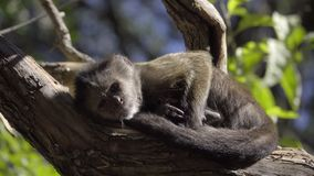 Cute young Capuchin monkey sunning. View of cute young Capuchin monkey sunning stock video footage