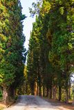 Cypress alley in Sochi Arboretum, Russia. View of cypress alley in Sochi Arboretum in sunny day, Russia Royalty Free Stock Images