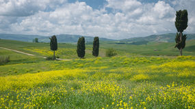 View on cypresses in wide Tuscan landscape Royalty Free Stock Image