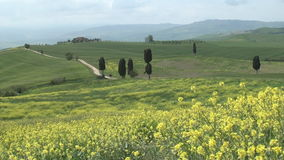 View on cypresses in wide Tuscan landscape. Typical view on cypress trees scattered in a wide Tuscan landscape covered with yellow wildflowers stock footage
