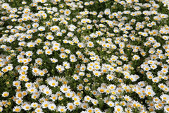 Daisy flowers in spring time. Royalty Free Stock Image