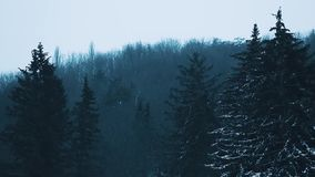 A view on dark evening forest with tall spruces covered with snow. Dark evening background with fir trees and snow falling, cold winter weather stock footage