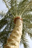View of a date palm tree. Bottom view of a date palm tree royalty free stock photos