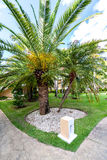 View of date palms close-up on a green lawn. Stock Image