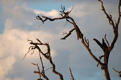 ARTISTIC EFFECT ADDED TO DRY BRANCHES. View of a dead tree with bare branches towering into the sky with clouds with artistic effect added royalty free stock photos