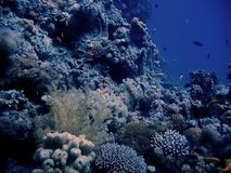 View on deep blue corals. View on deep underwater  blue corals alley Royalty Free Stock Images