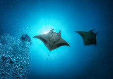 Manta Ray in the Indian Ocean, Maldives stock photography