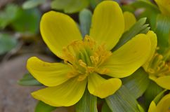 View of detail flower Eranthis, South Bohemia Royalty Free Stock Photo