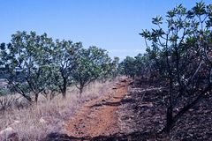 HIKING TRAIL THROUGH A PATCH OF SUGAR BUSH TREES. View of a dirt road divide with burnt grass on only one side line with Protea bushes stock images