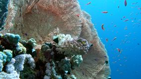 The view of a diver exploring a colorful reef, Red sea, Egypt stock video