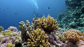 The view of a diver exploring a colorful reef, Red sea, Egypt stock video footage
