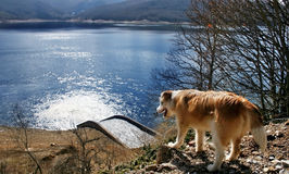View of a dog and a lake. Mavrovo Lake, Macedonia royalty free stock photography