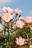 View of dog rose Stock Photo