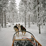 View from the dog sled. During the dog race in winter Lapland Stock Photo