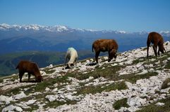 Sheep graze on rocky meadow in the mountains royalty free stock photography