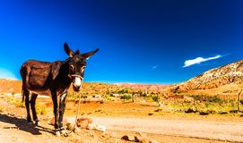 Donkey in the Atlas mountain in Morocco royalty free stock photo