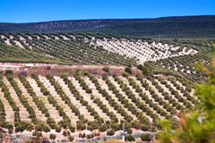 View down the hill at olives fields Stock Photos