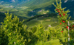 View down the idyllic vineyards and fruit orchards of Trentino Alto Adige, Italy. Trentino South Tyrol. In the foreground a typica. View down the idyllic royalty free stock photos