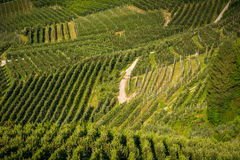 View down the idyllic vineyards and fruit orchards of Trentino Alto Adige, Italy. Trentino South Tyrol. Stock Photo