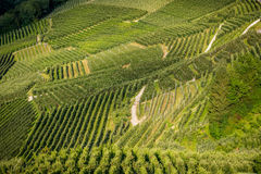 View down the idyllic vineyards and fruit orchards of Trentino Alto Adige, Italy. Trentino South Tyrol. Stock Photos