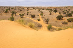 View down a sand dune in the Kalahari. Scenic landscape of sand dunes and acacia trees in the Kalahari Desert, Northern Cape, South Africa Royalty Free Stock Photos