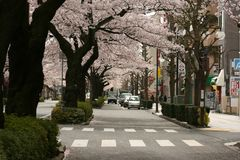 A view down the street. A road in Japan canopied in cherry blossoms Stock Images