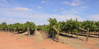 View Down Wind Damaged Row of Vines. Stock Image