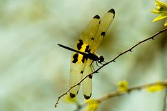 View Dragonfly on branches Royalty Free Stock Images