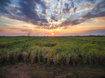 view from drone Sugar cane field with sunset sky nature landscap Royalty Free Stock Image