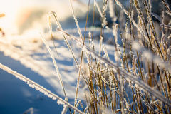 View of dry grass covered by snow at sunny day Royalty Free Stock Photo