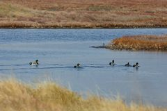 View of ducks in Evros river, Greece. Royalty Free Stock Photo