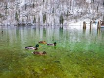 The view of ducks on a green lake in winter time boat port space. Berchtesgaden. Bavaria, Germany Stock Photography