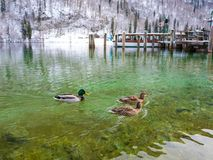 The view of ducks on a green lake in winter time boat port space. Berchtesgaden. Bavaria, Germany Stock Images