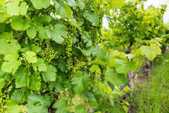View of a early spring grapes in a vineyard Royalty Free Stock Images