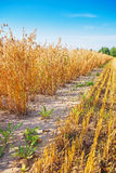 View on edge of oat field in harvest agricultural Royalty Free Stock Photos