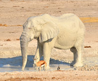VIew of an elephant covered in white mud. Etosha National Park Namibia Africa. Etosha's elephants number about 2500 and occur either in breeding herds royalty free stock photos