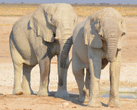 VIew of an elephant covered in white mud. Etosha National Park Namibia Africa. Etosha's elephants number about 2500 and occur either in breeding herds stock photography