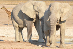 VIew of an elephant covered in white mud. Etosha National Park Namibia Africa. Etosha's elephants number about 2500 and occur either in breeding herds royalty free stock photo