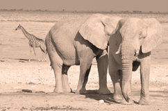 VIew of an elephant covered in white mud. Etosha National Park Namibia Africa. Etosha's elephants number about 2500 and occur either in breeding herds stock images