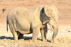 VIew of an elephant covered in white mud. Etosha National Park Namibia Africa. Etosha's elephants number about 2500 and occur either in breeding herds stock image