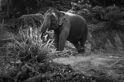 View of an elephant eating palm leaves on a hill Royalty Free Stock Photo
