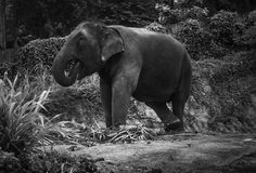 View of an elephant eating palm leaves on a hill Stock Image