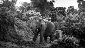 View of an elephants eating palm leaves on a hill Stock Photos