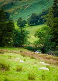 View of English sheep in countryside Royalty Free Stock Photos