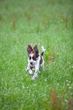 View of English Springer Spaniel running Royalty Free Stock Images